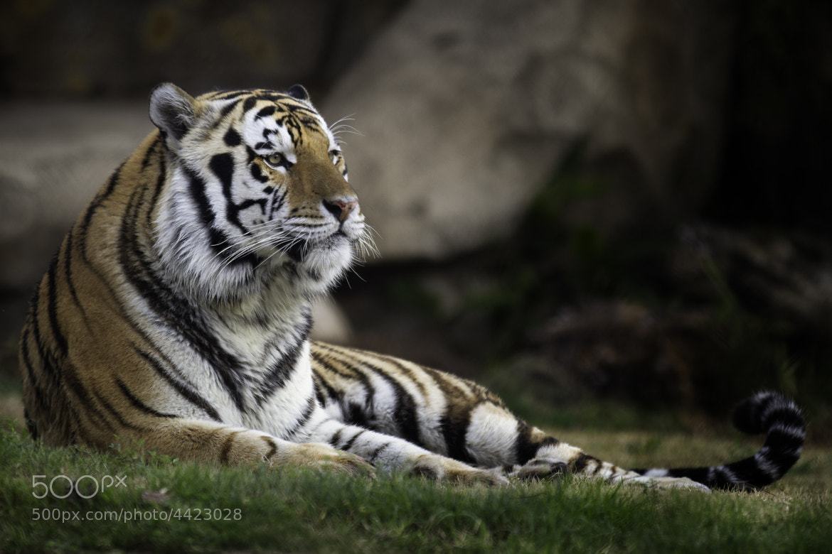 Photograph Mike the Tiger by Darrell Miller on 500px