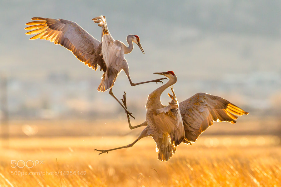 Photograph Sandhill Cranes by Jason Savage on 500px