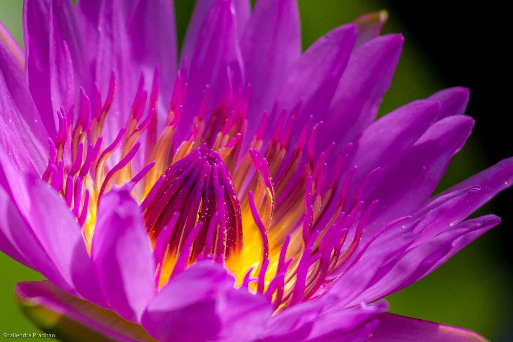 Photograph Lily by Shailendra Pradhan on 500px