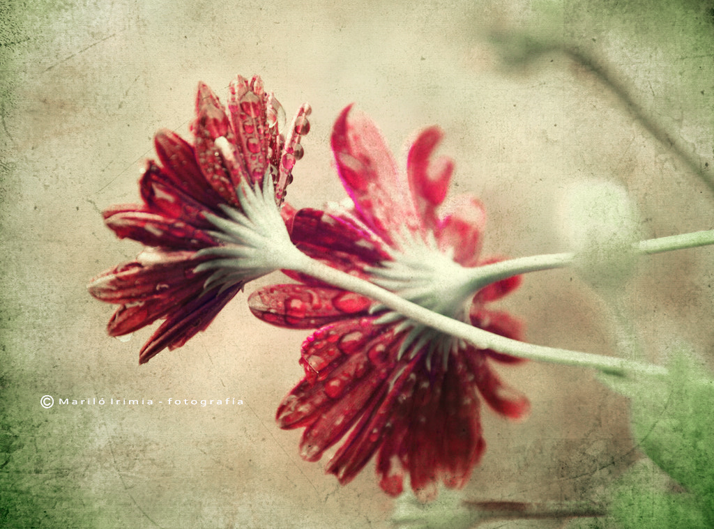 Photograph vintage daisies by Mariló Irimia on 500px