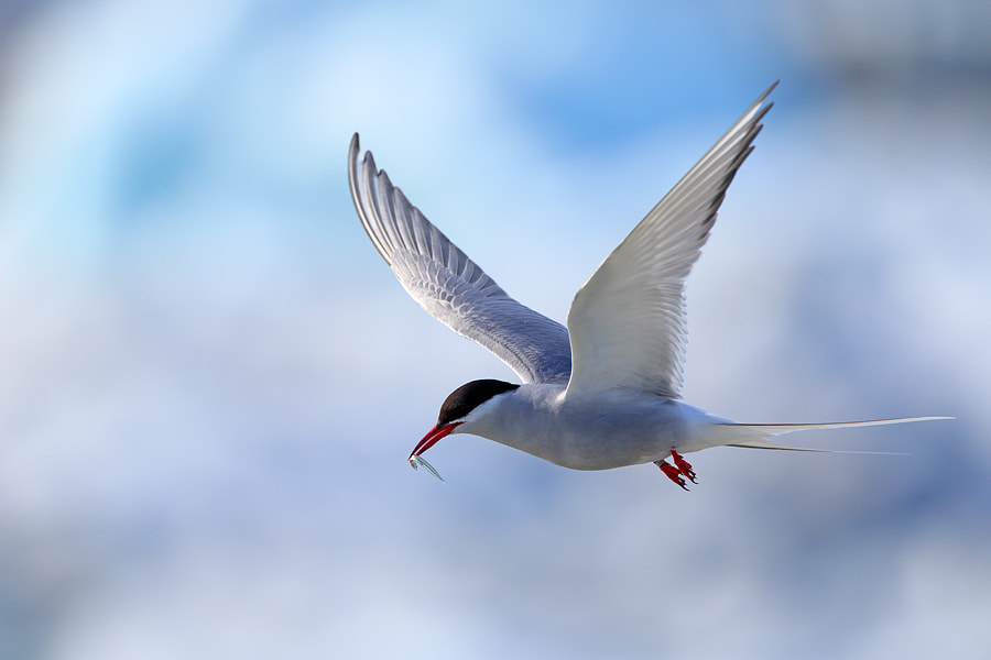 Photograph Arctic Tern by Christian Rey on 500px