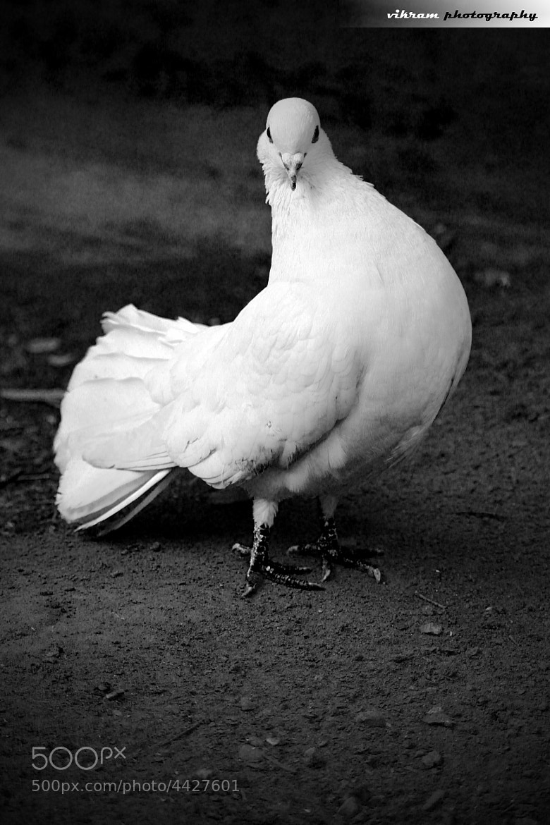 Photograph white pigeon by Vikram Photography on 500px