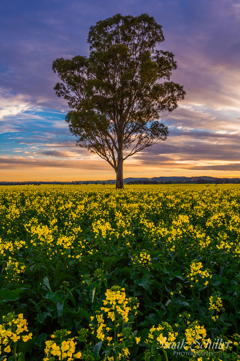 Photograph Canola Blossom by Isaak  Schiller on 500px
