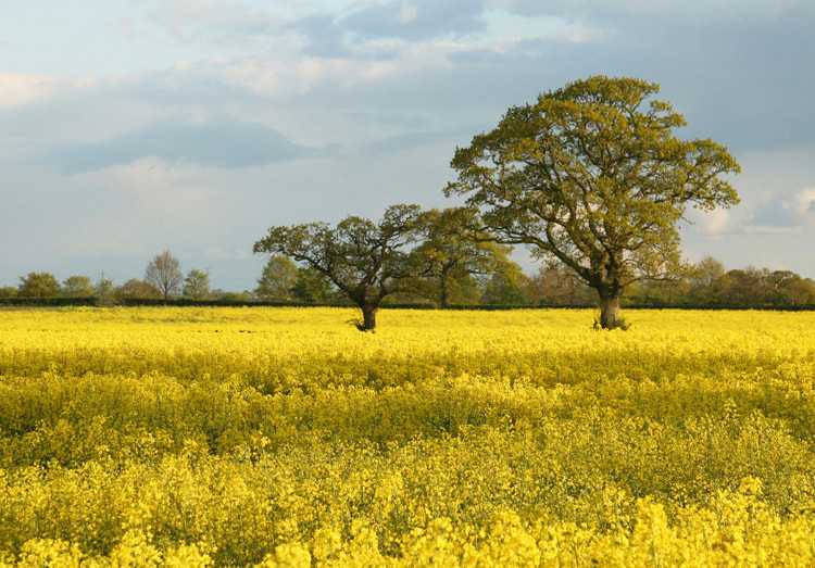 Oilseed rape,farming in the UK,is
