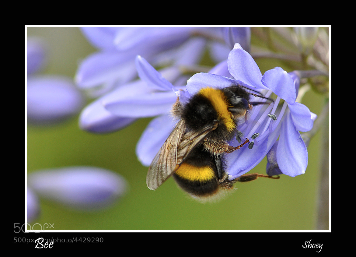 Photograph A Bee by Mark Shoesmith on 500px