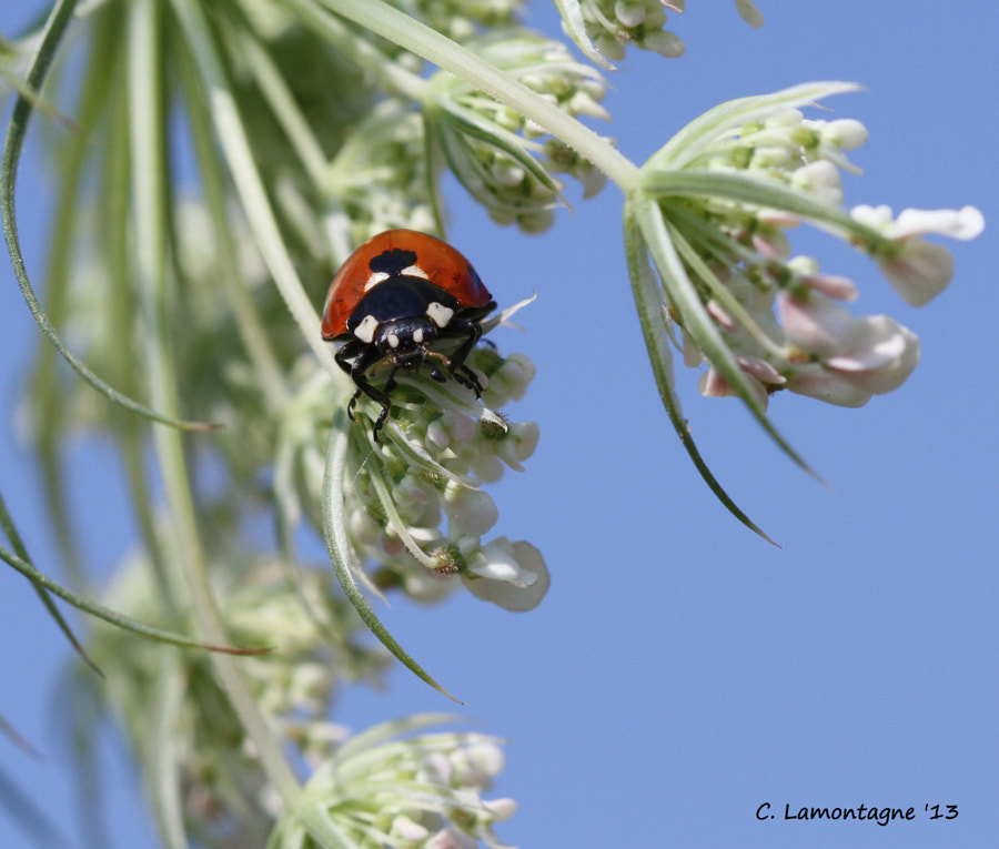 Seven Spotted Ladybug on Queen Anne's Lace. Taken in Wasaga Beach, Ontario.