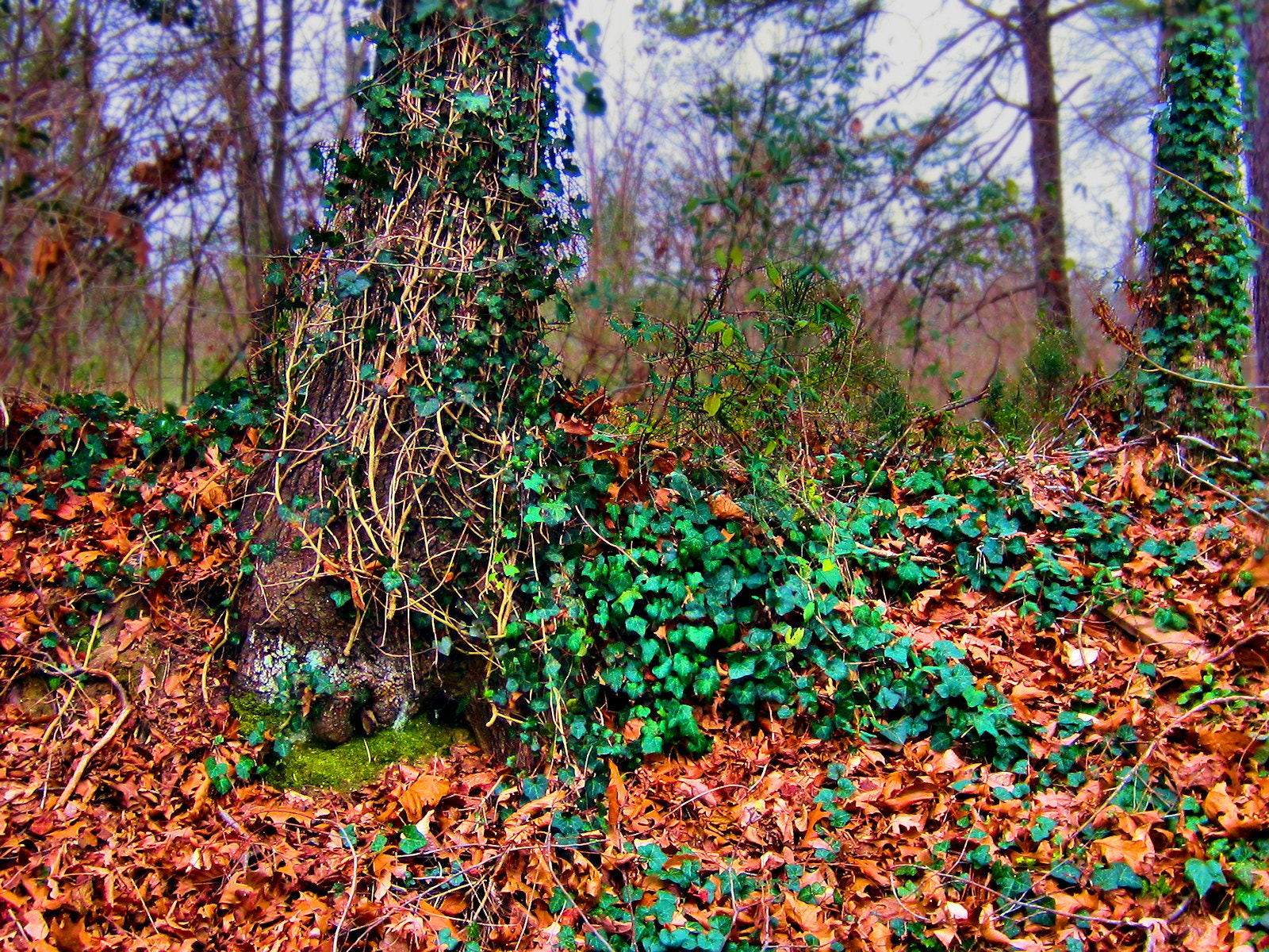 Photograph Tree Ivy by SusanAnn Avery on 500px