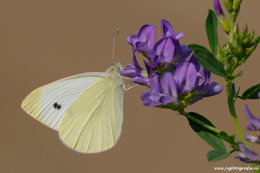 Photograph Cabbage butterfly/ Koolwitje by Johan van Gool on 500px