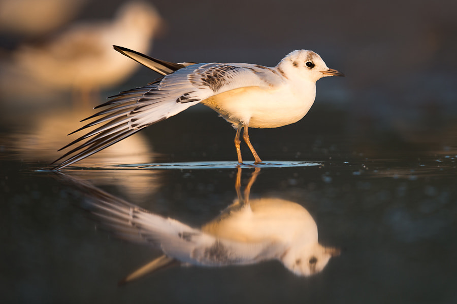 Photograph The Black-headed Gull by Krzysztof Marczak on 500px