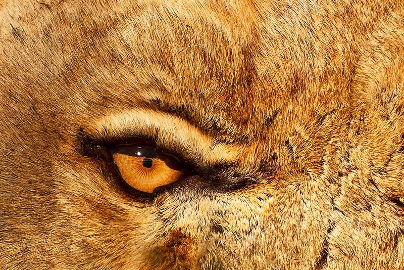 Photograph Lion Eye by Brendon Cremer on 500px