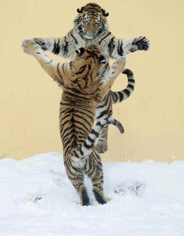 Photograph Tigertanz by Jutta Kirchner on 500px