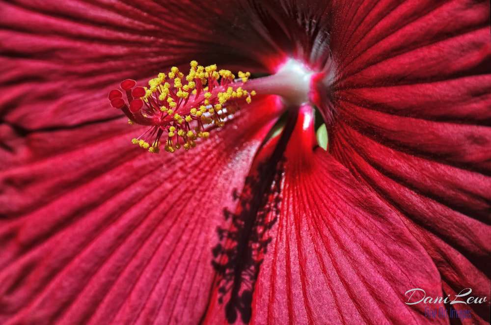 Photograph Close-up view of a large red hibiscus flower by Danielle Lewis on 500px