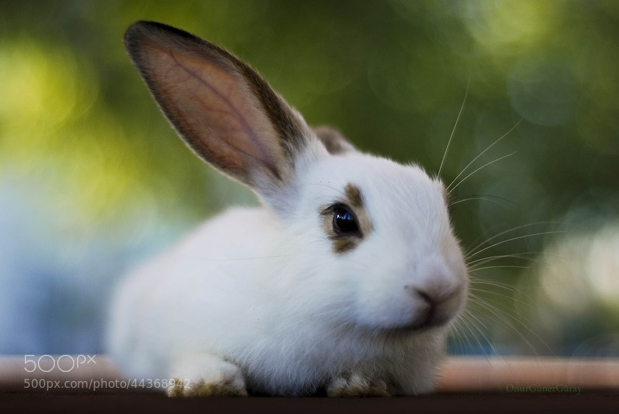Photograph Rabbit 1 by Onur Güner Güray on 500px