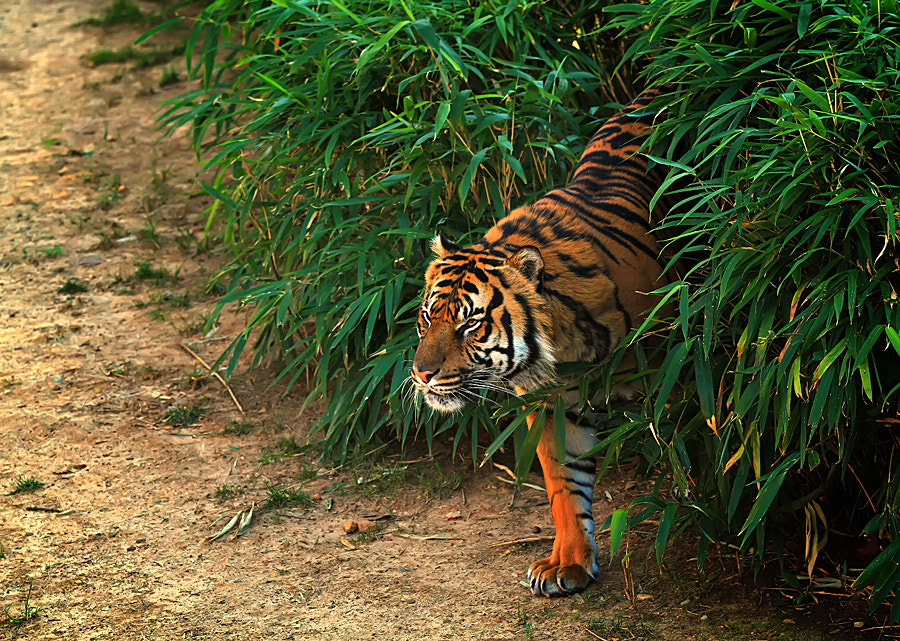 Photograph tiger by shikhei goh on 500px