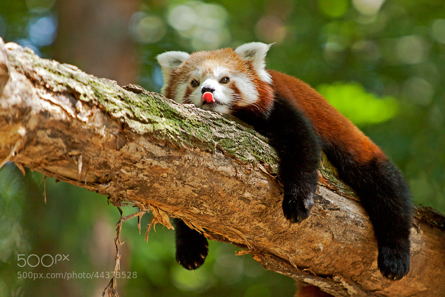 Photograph Ailurus fulgens by Miha Mozer on 500px