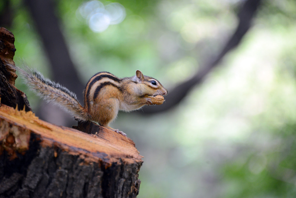 Photograph a chipmunk by sunyi2001 on 500px