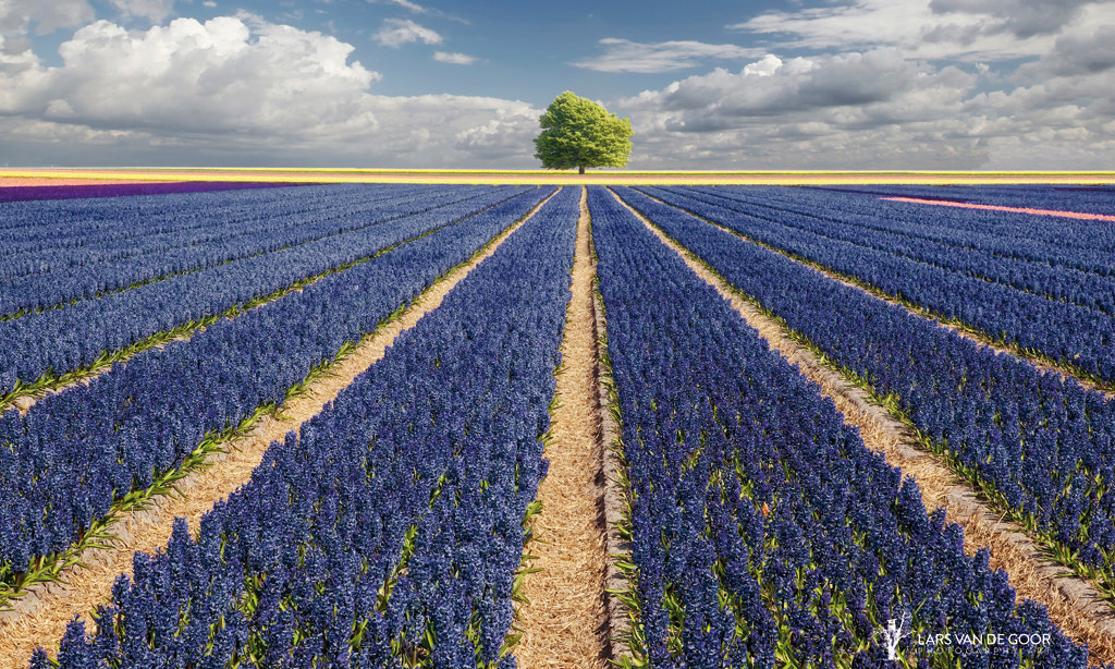 Photograph Hyacinths & Tree by Lars van de Goor on 500px