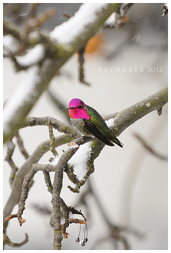 Photograph Hummingbird Snow Day by Paul Raymaker on 500px