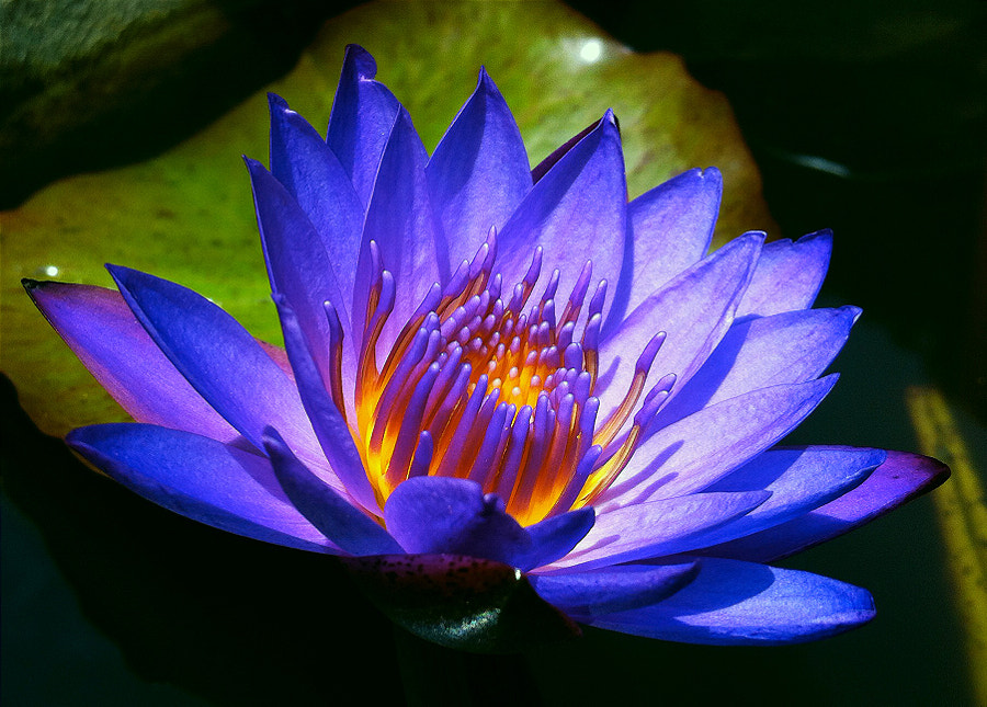 Iridescent Lily