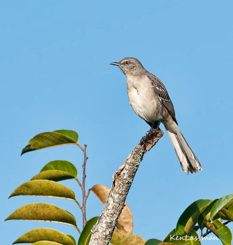 State bird of Florida