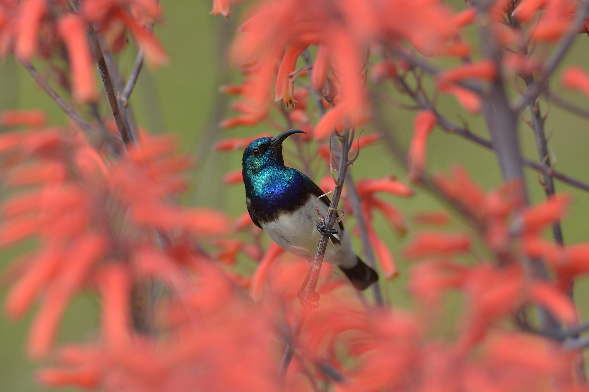 Photograph White-bellied Sunbird by Chris du Plessis on 500px