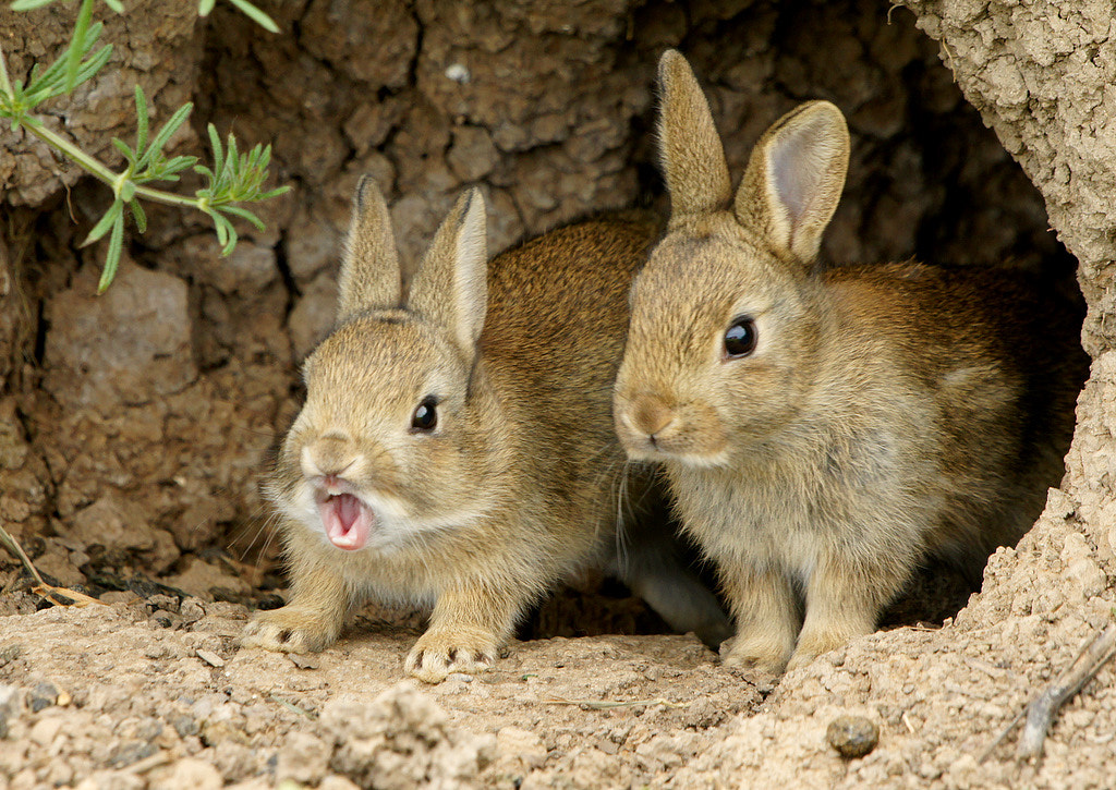 Photograph Yawning rabbit by Phil  on 500px