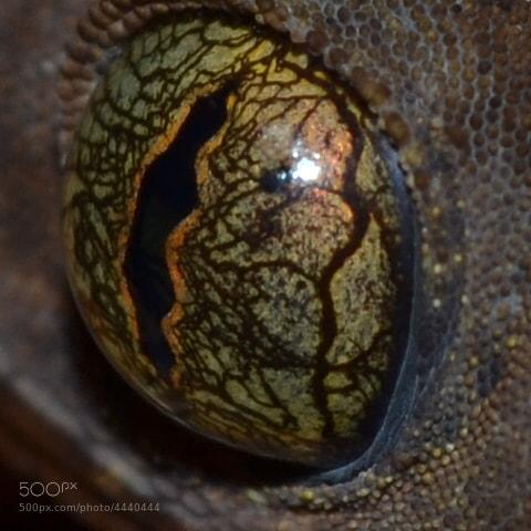 Photograph Gecko`s eye by Felipe Veloza on 500px