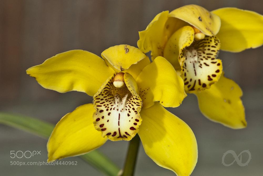 Photograph Orquídea amarilla by David Cuesta Azor on 500px