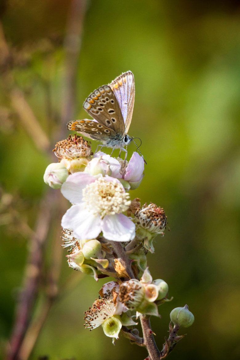 Photograph Silver-Studded Blue (Lycaenidae) by Marc Guille on 500px