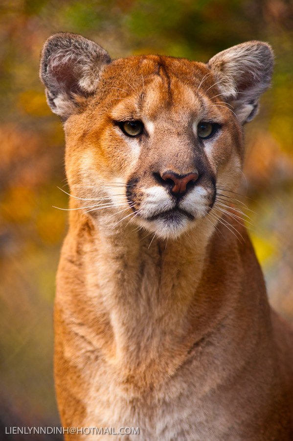 Photograph Cougar by Lien Dinh on 500px