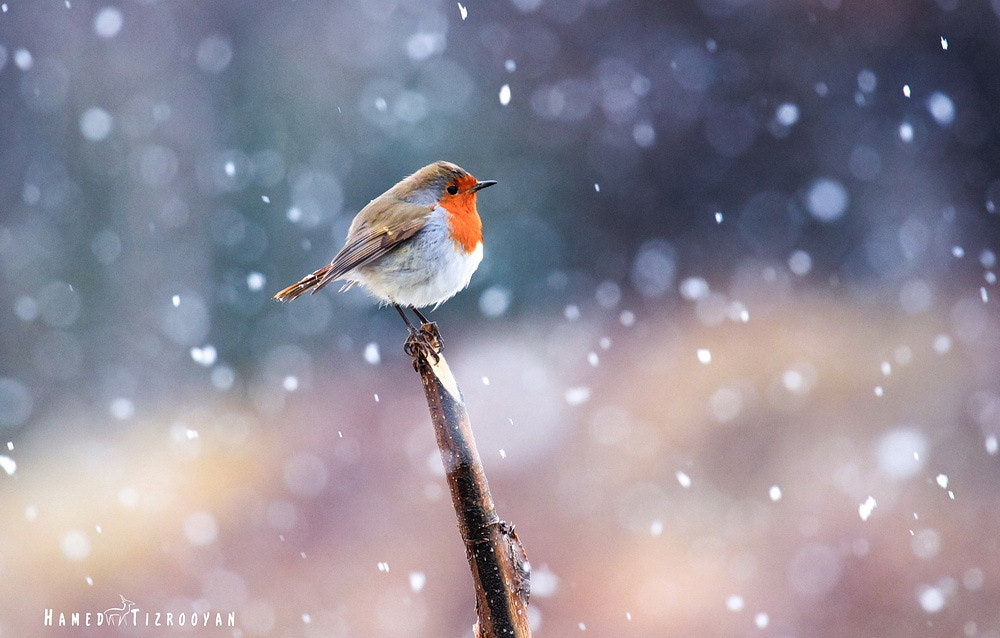 Photograph robin in snow by Hamed Tizrooyan on 500px