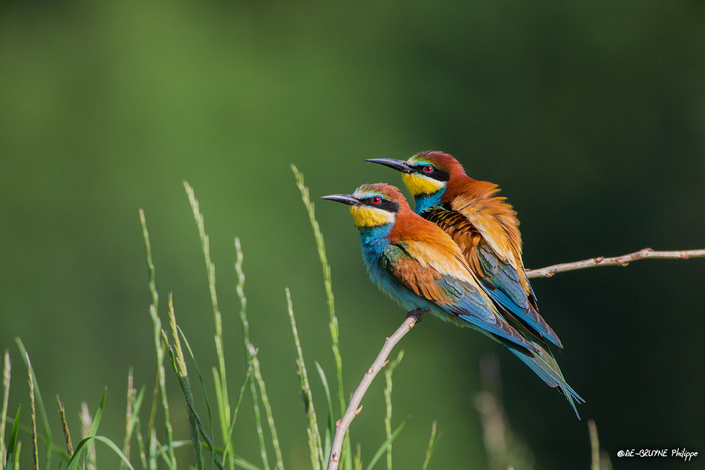 Photograph European Bee-eater by Philippe DE-BRUYNE on 500px
