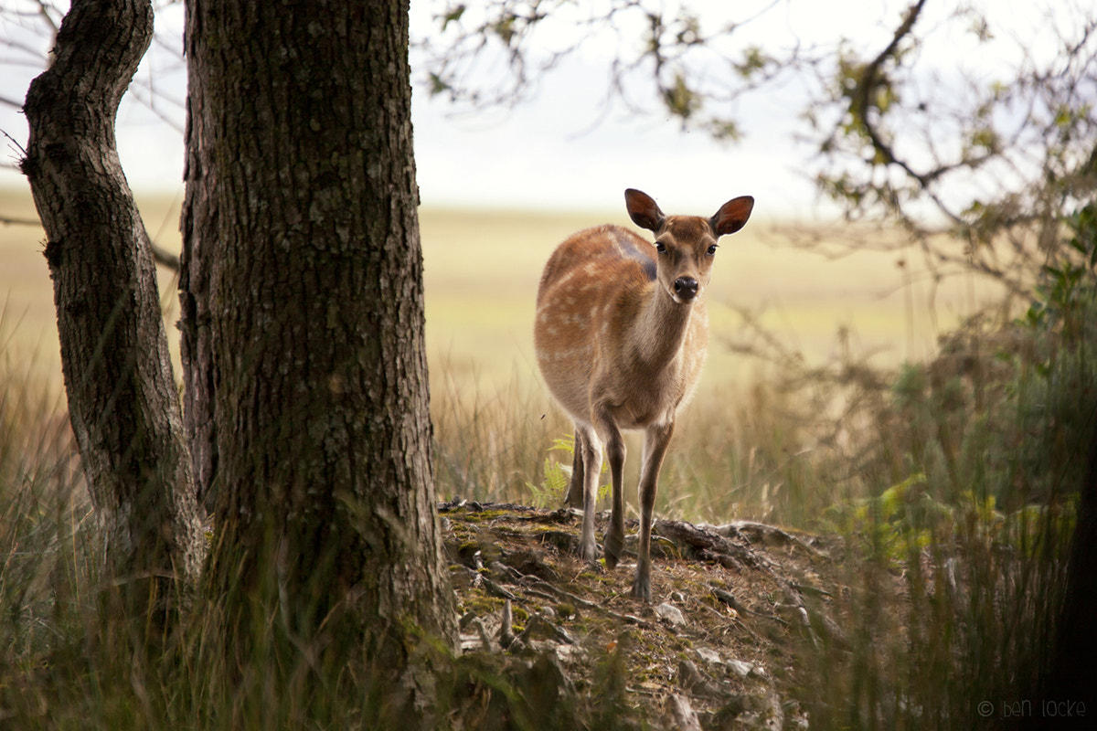 Photograph Sika Deer by Ben Locke on 500px
