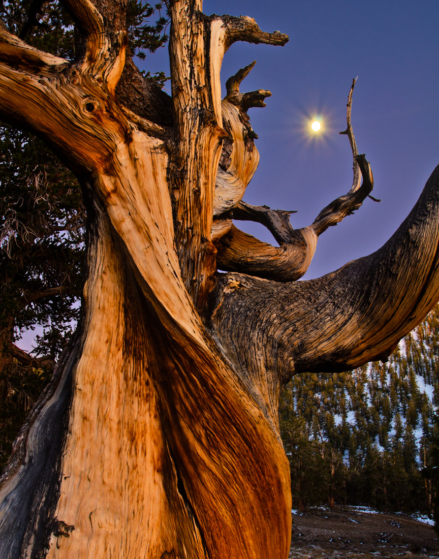 Photograph Ancient Bristlecone Pine by Matthew Kuhns on 500px