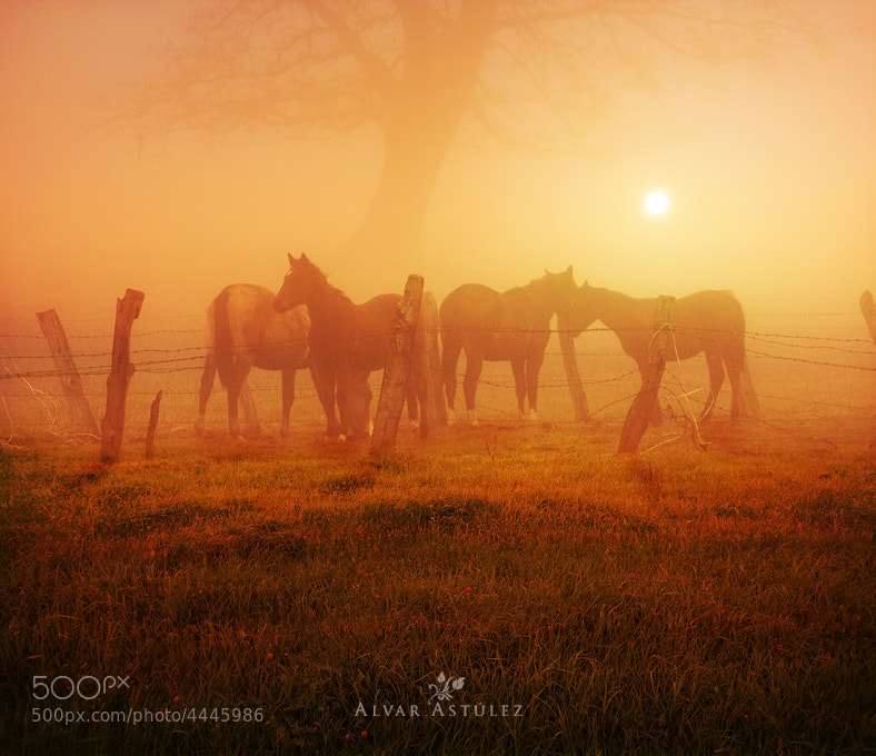 Photograph Caballos al amanecer by Alvar Astúlez on 500px