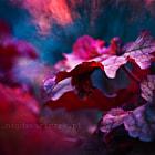 Leaf of Heuchera