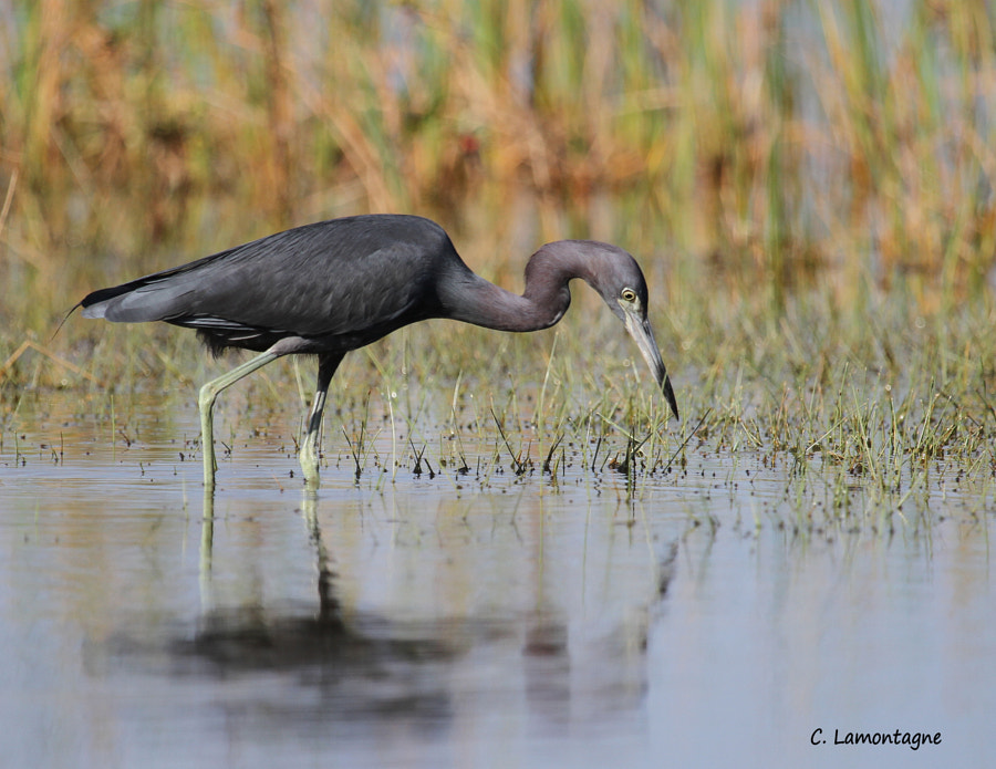 Little Blue Heron fishing. Taken at one of the marshes I photograph at while visiting Florida in the winter.