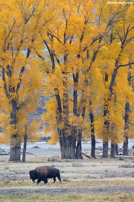 Photograph Autumn in the Lamar Valley by Max Waugh on 500px
