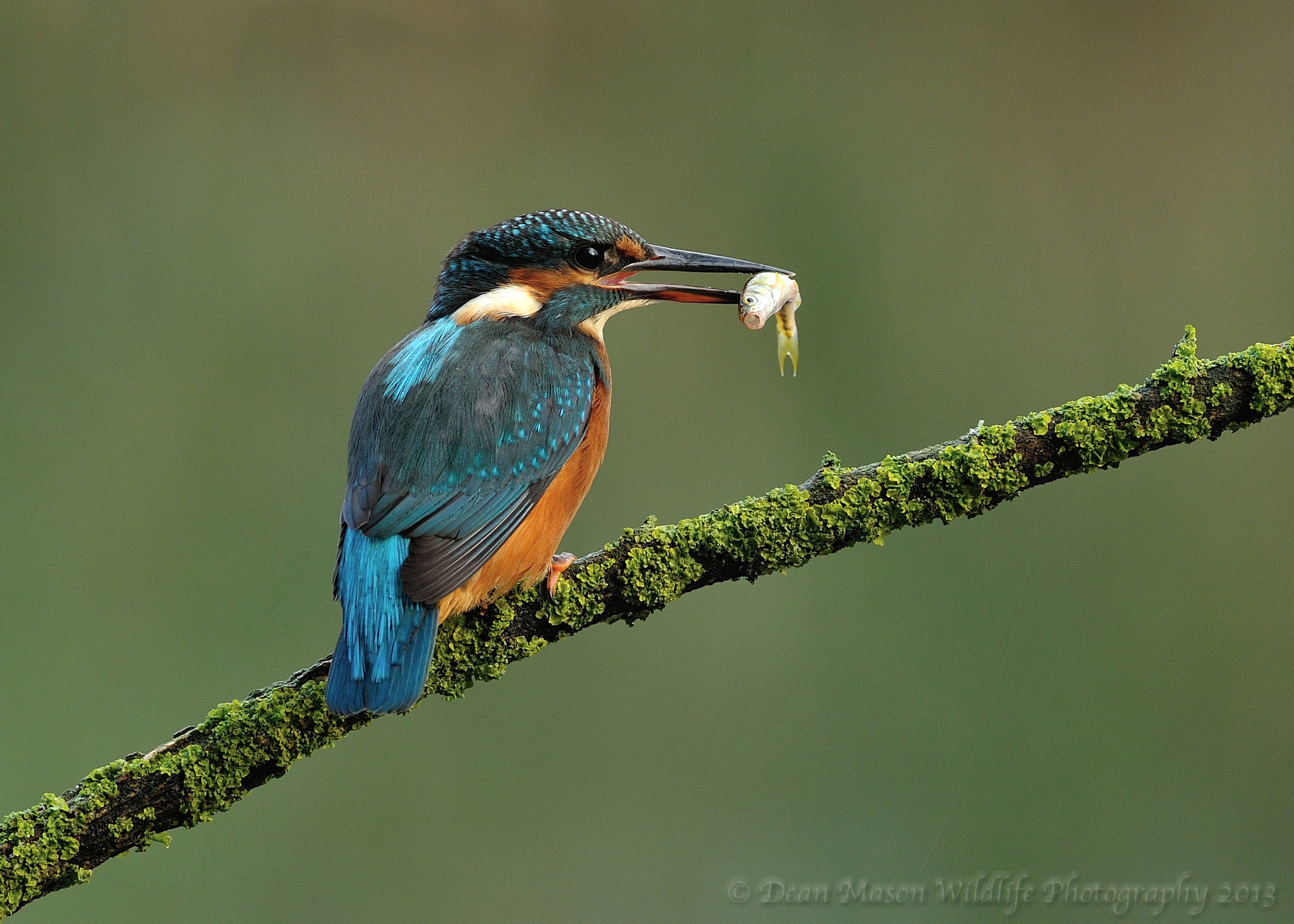 Photograph Kingfisher & Fish Supper ! by Dean Mason on 500px
