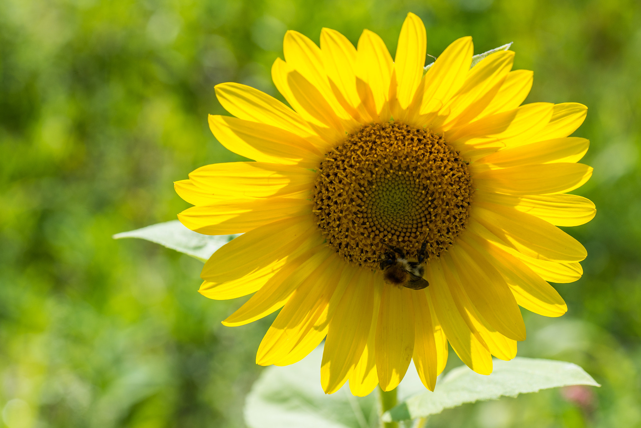 Photograph field flowers (04) - bumble-bee on sunflower by Vlado Ferencic on 500px