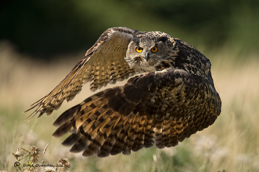 Photograph Eagle Owl by Dave Ovenden on 500px