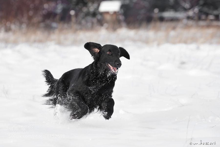 Photograph Flatcoated retriever #6 by Michal Deszert on 500px