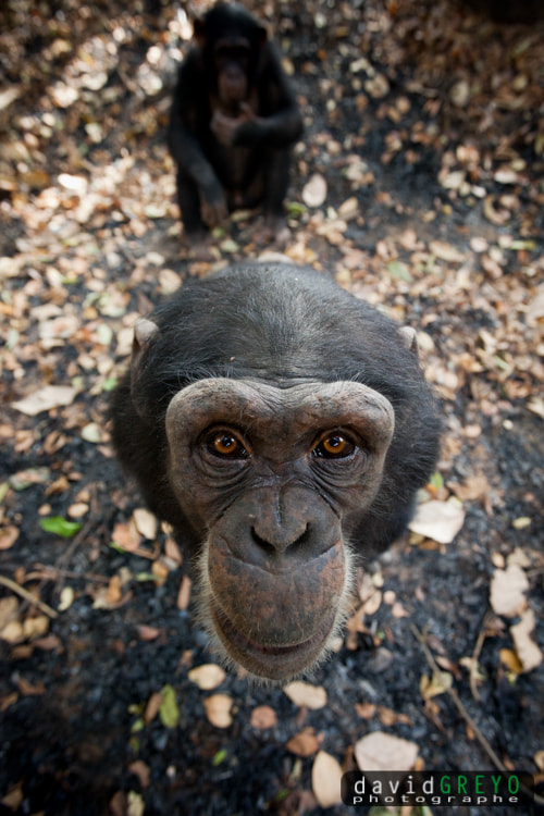 Photograph Chimps by David Greyo on 500px