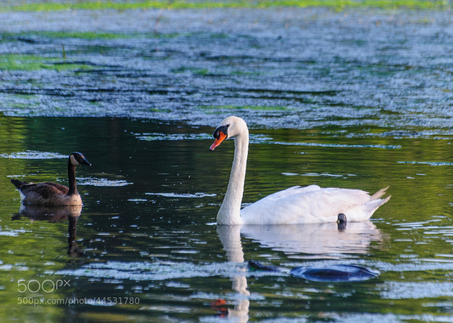 Here I was concentrating on the swan and Goose, these two are inseparable, the next thing I know, the snapping turtle quietly sails into view, so like the turtle, I snapped   :-)