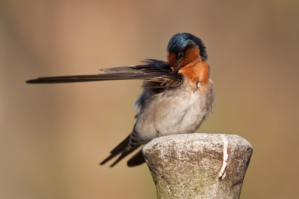 Photograph Preening swallow by Paul Sorrell on 500px