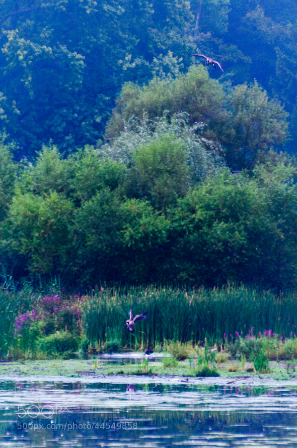 On a foggy, misty afternoon at the pond, the geese arrive home