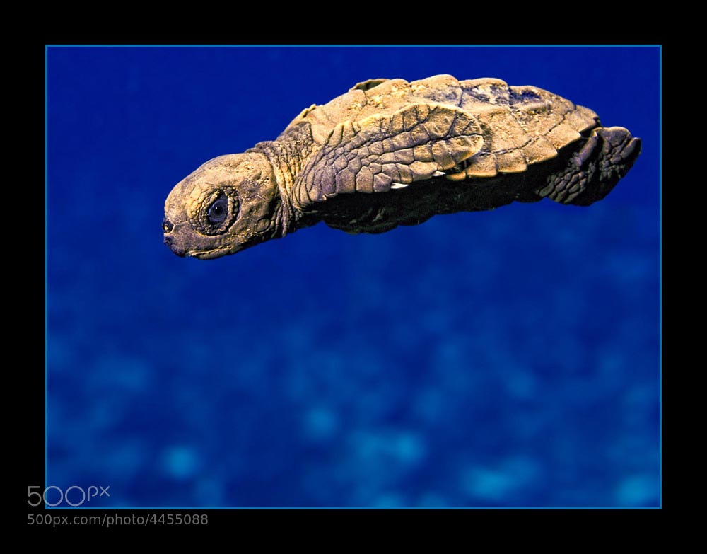 Photograph Juvenile Hawksbill Turtle by Chris Huxley on 500px