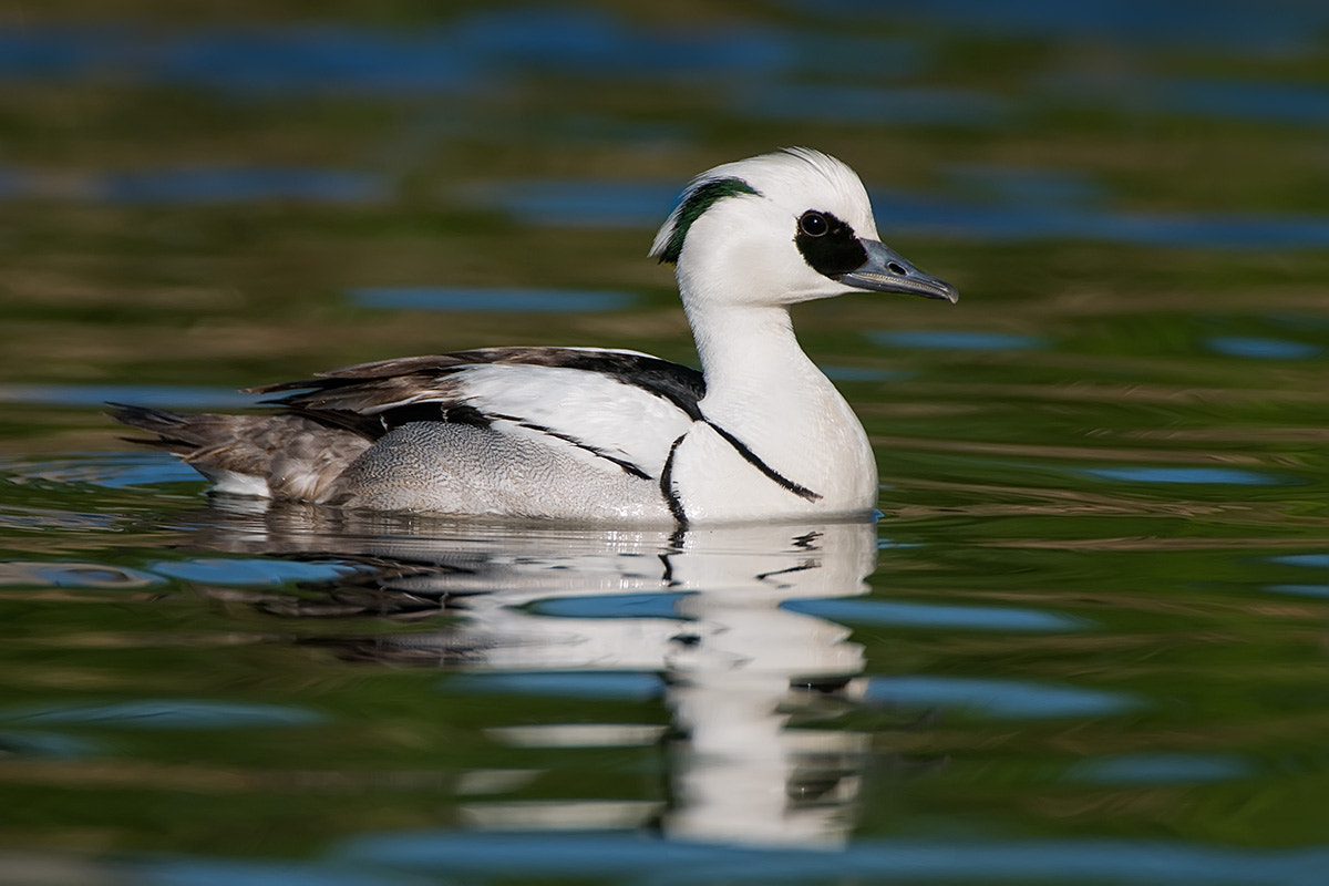 Photograph Smew reflecting by Mike  Lentz on 500px