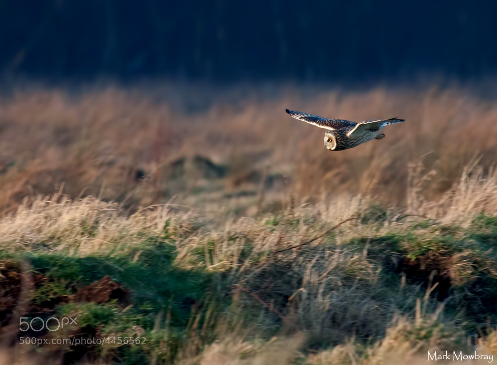 Photograph Short Eared Owl by Mark Mowbray on 500px