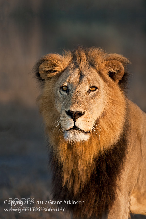 Photograph An Okavango Male Lion by Grant Atkinson on 500px